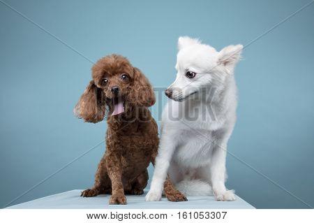 Spitz, poodle portrait in blue background - shot