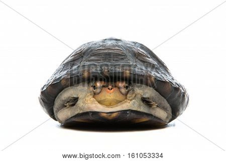 Turtle portrait in gray background - shot