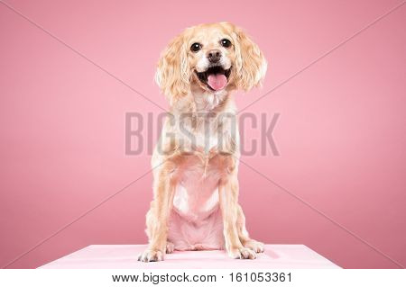 Cocker Spaniel portrait in pink background - shot