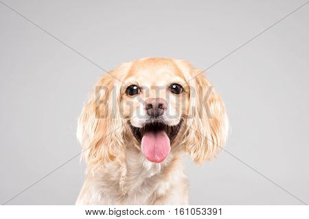 Cocker Spaniel portrait in gray background - shot
