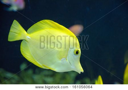 a yellow tang fish in a water