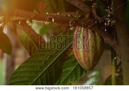 green and red cacao fruit growing on cocoa tree. Close up of big cocoa pod