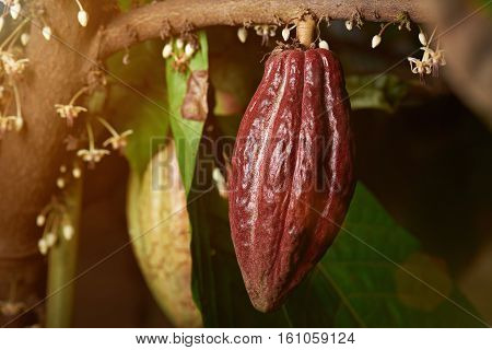 One big red ready to harvest cacao pod cocoa tree close up
