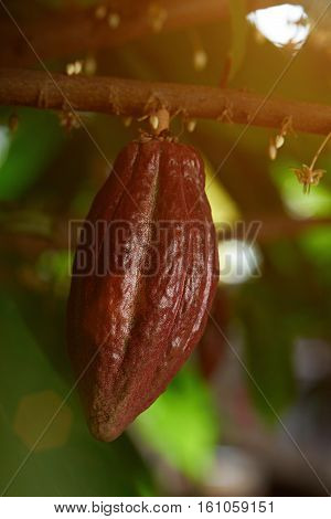 brown cacao pod on tree branch close up in farm plantation