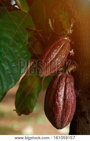cacao pods on cocoa farm under shade of cocoa tree
