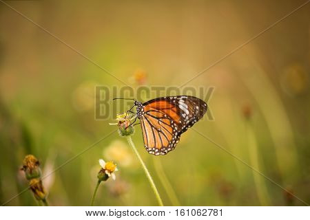 Tiger butterfly drinks nectar from flowers  in natural