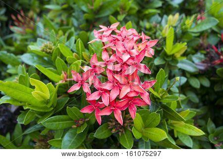 a close up Red Pink Ixora Flower