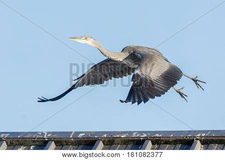 Great Blue Heron Taking Off