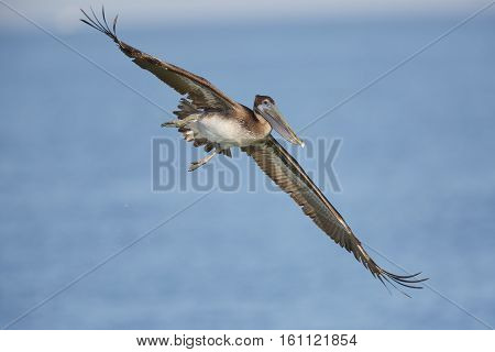 An immature Brown Pelican (Pelecanus occidentalis) banks in flight as it prepares to dive for a fish in the Gulf of Mexico - St. Petersburg Florida
