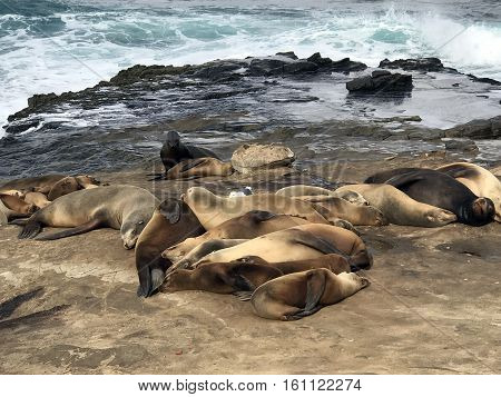 Several seals gathered on an ocean beach in California
