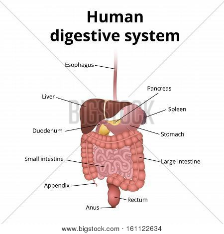the location of the gastrointestinal tract in the body, the human digestive system