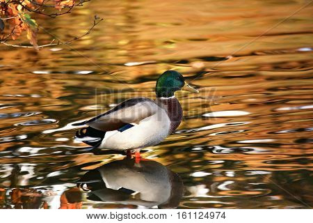 A mallard duck with a glistening lake background on Linacer reservoir in Derbyshire.