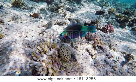 Parrotfish among the corals in the Red Sea, Egypt
