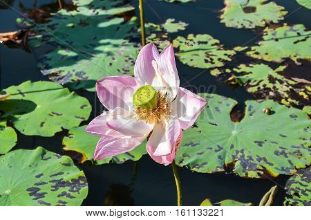 Pink lotus flowers are wilted petals off season.