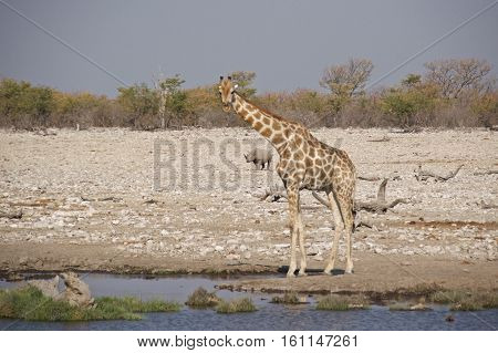 Giraffe with black rhinoceros at waterhole in Etosha National Park, Namibia