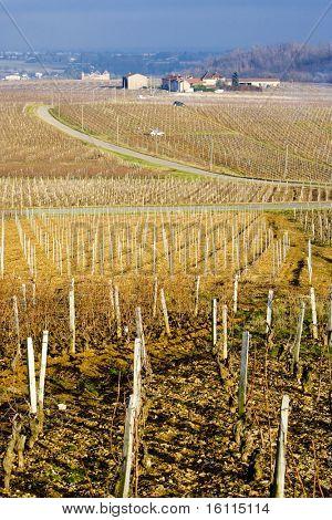 vineyards of Pouilly-Fuisse region, Burgundy, France