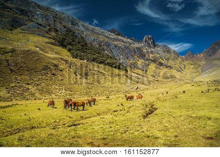 Wild Horses In Peru
