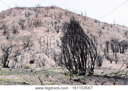 Charcoaled landscape with a burnt chaparral woodland caused from a wildfire taken in Cajon, CA
