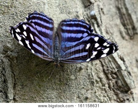 A Mexican Bluewing butterfly (Myscelia ethusa) resting on a tree