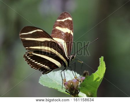 A Zebra Heliconian butterfly (Heliconius charithonia) feeding