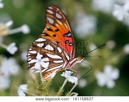 A Gulf Fritillary Butterfly (Agraulis vanilla) feeding on White Plumbago