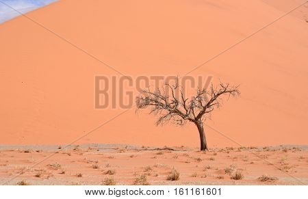 dry tree against sand dune in Africa