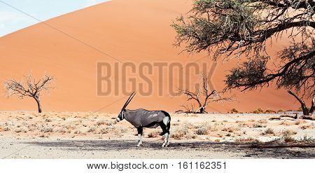 Oryx In Desert