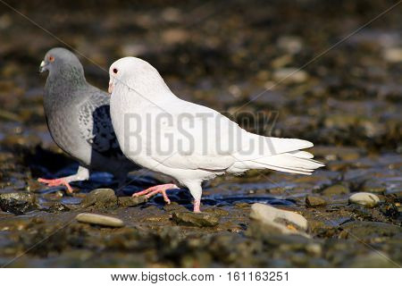 An albino Pigeon performing a courtship dance for a female