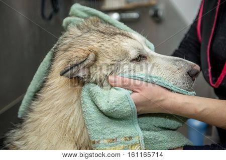 dog breed malamute wipe with a towel. In the dog salon Master woman dries towel wool Malamute dogs.