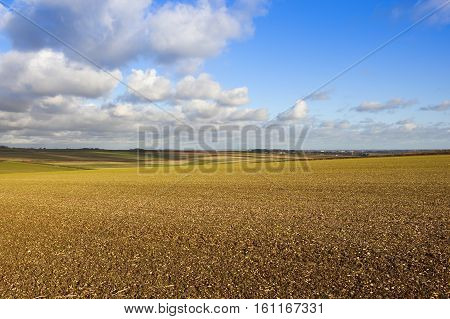 Wheat Crop In Chalky Soil