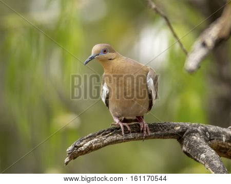 A beautiful White-winged Dove perches on a snag in a southeast Arizona garden.