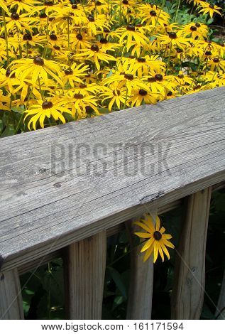 Black-eyed Susan flowers with one peeking out from under the fence