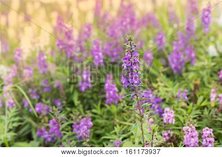 Meadow Sage (Salvia pratensis) - herbaceous perennial plant field of purple flowers