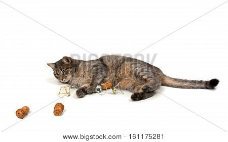 Gray cat lying on its side with champagne wine corks and muselets. Isolated on white background.