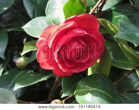 Ancient japanese cultivar of red Camellia japonica flower