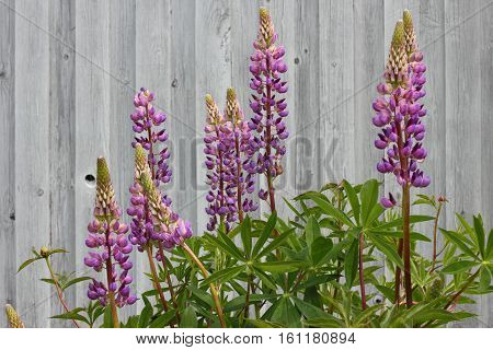 Beautiful purple lupins growing in the garden