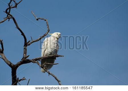Cockatoo on a bare tree, sulphur-crested Cockatoo species