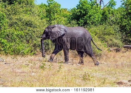 Watering large animals in the Okavango Delta. Elephant - loner. Fascinating journey to Africa. Chobe National Park in Botswana