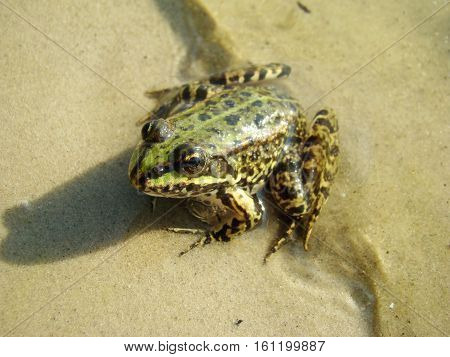 Frog -- a common name of a group of animals from the Anura order of amphibians.