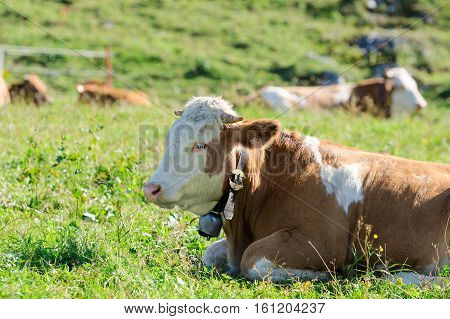 Herd Of Hereford Breed Cows Lying On Sunshine Alpine Pastureland