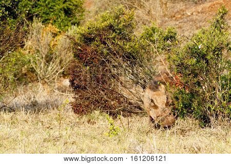 Common Warthog Hiding Between The Bushes