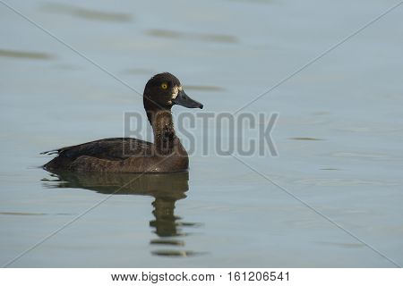 Tufted Duck (Aythya fuligula) female swimming in water