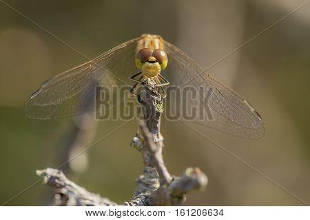 Vagrant Darter (Sympetrum vulgatum) fresh female resting on a withered Plant
