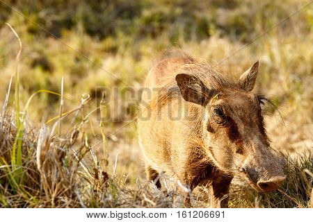 Common Warthog With His Big Nose