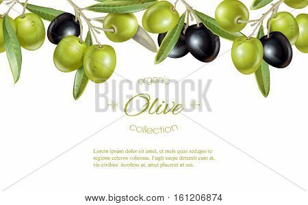Vector horizontal banner with ripe black and green olives on white background. Design for olive oil, natural cosmetics, health care products, homeopathy. With place for text