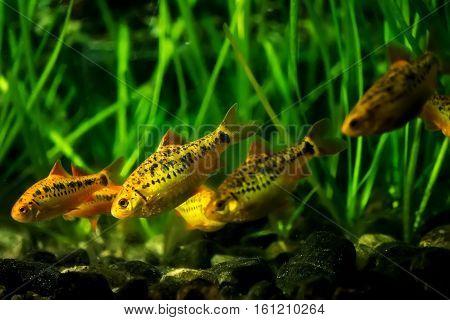 A flock of Barbus Schuberti in the aquarium