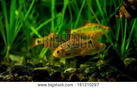 Puntius semifasciolatus(Barbus semifasciolatus ) - aquarium fish