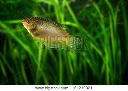 Honey gourami - golden tropical aquarium fish