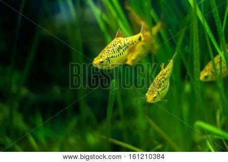 Puntius Shuberti (Golden Barbus) - aquarium fish