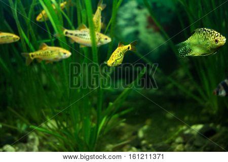 Barbus Schuberti and Golden gourami in aquarium.